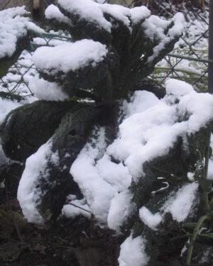 Schwarzkohl im Winter