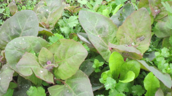 Rote Gartenmelde (Samen)-5725