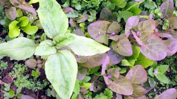 Rote Gartenmelde (Samen)-5723