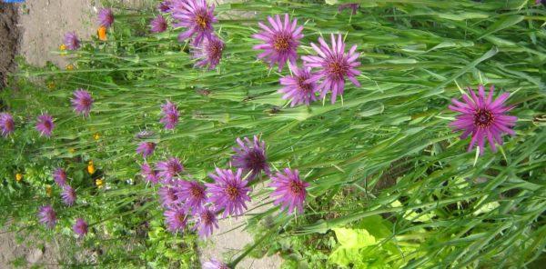 Blüte im Mai-Juni