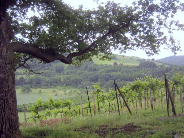 Disibodenberg mit uralter Eiche