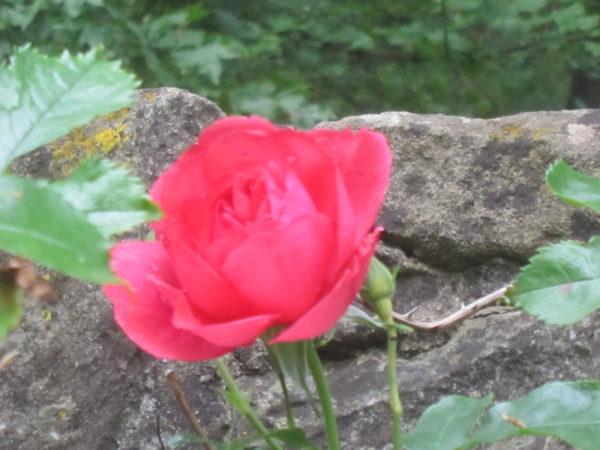 Rose im Klosterhof, gepflanzt in Erinnerung an Hildegard von Bingen