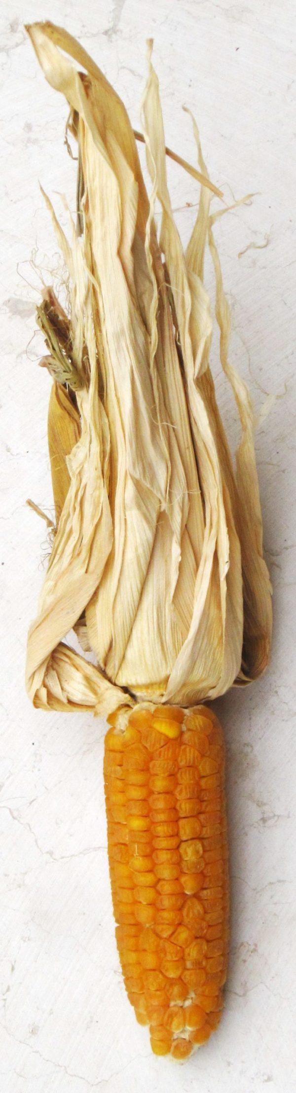 Golden Bantam Mais Saatgut-5655
