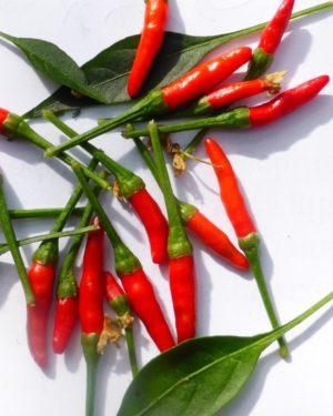 Wild-Chili Piquin