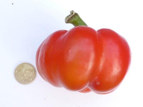 Tomatenpaprika-samenfestes Saatgut