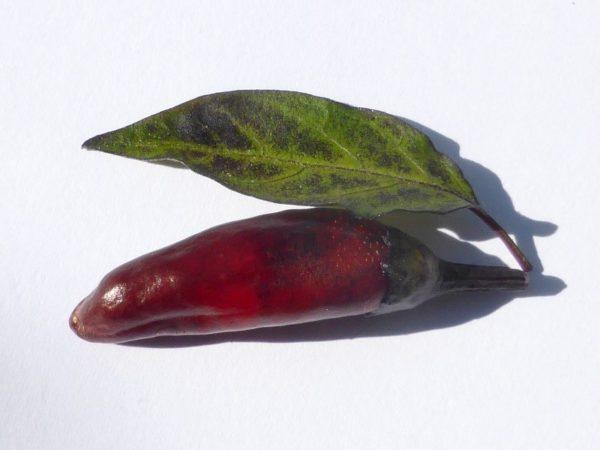 Chili Azteco