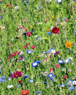 Bienen-und Schmetterlings-Lieblingspflanzen (Samen)-0