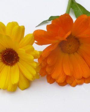Calendula (Samen)-0