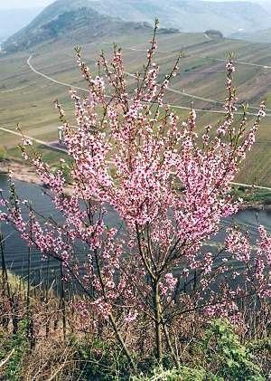 Roter Weinbergspfirsich-Blüte