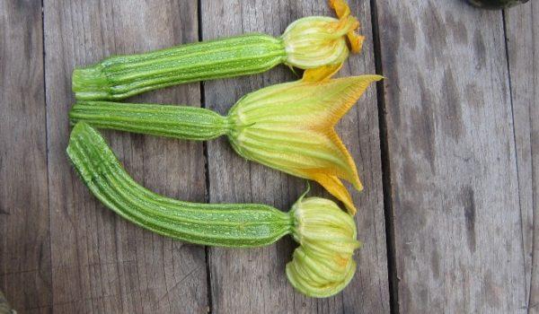 Zucchino fiorentino