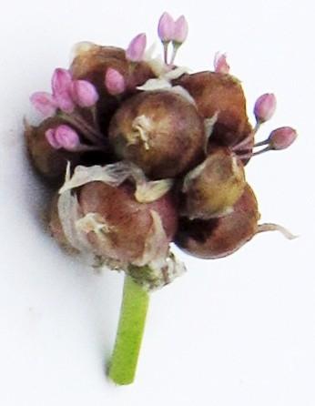 Rockenbolle-Brutzwiebelchen mit Scheinblüten