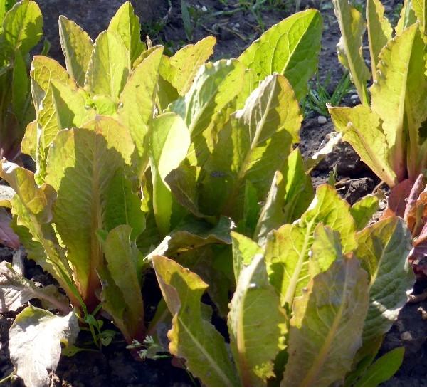 Rheinischer Romana-Salat