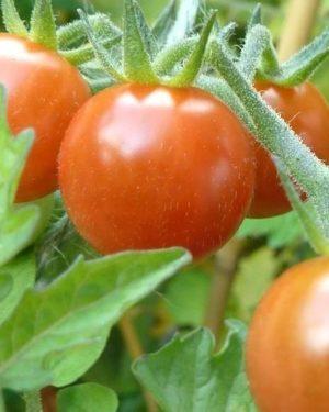 Pubescens Wildtomate-Samenfestes Saatgut-0
