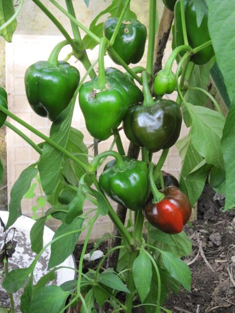 Bulgarische Paprika Pflanze-8724