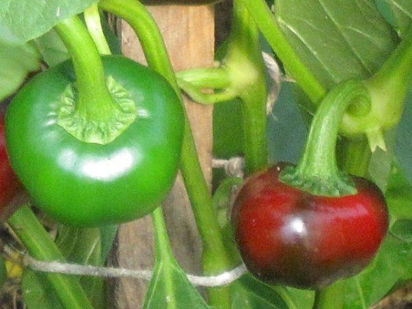 Kirschpaprika-Samenfestes Saatgut