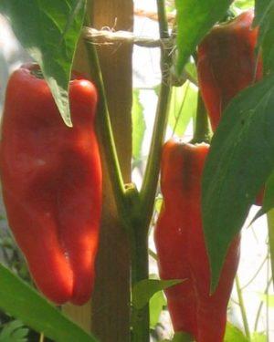 Galizische-Paprika Pflanze-0