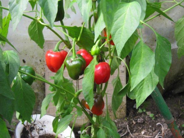 Bulgarische Paprika Pflanze-8725
