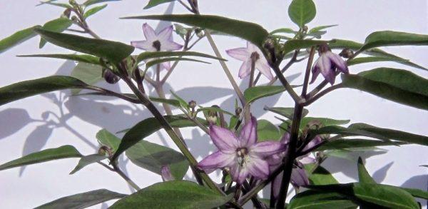 Chili Black Beauty: wunderschöne Blüten!