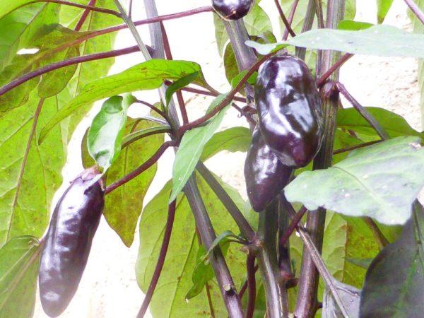 Azteco-Chili Pflanze-8703