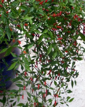 Wild-Chili Piquin: ideal für die Terrasse!