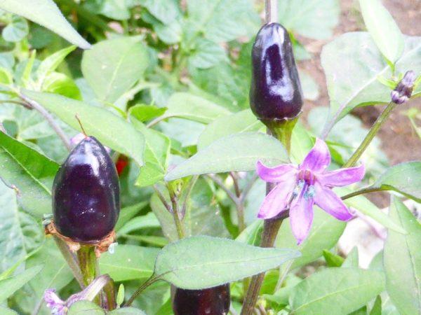 Chili Black Beauty