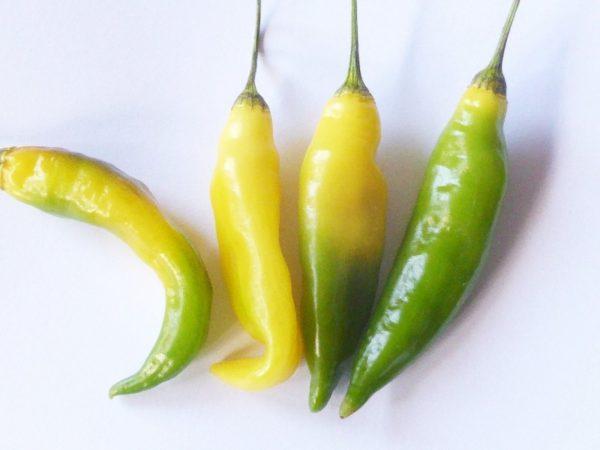 Lemon Drop rteift sehr gut nach - Chilis bis nach Weihnachten !