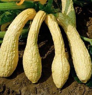 Zucchino rugoso friulano-0