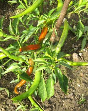 Türkische-chili-Samenfestes-Saatgut
