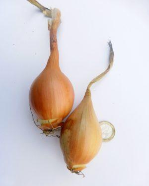 fränkische birnenförmige zwiebel